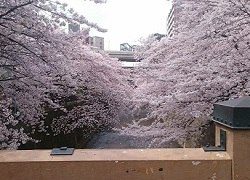 仲宿桜並木