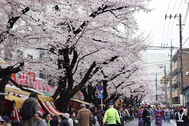 馬込桜並木-min
